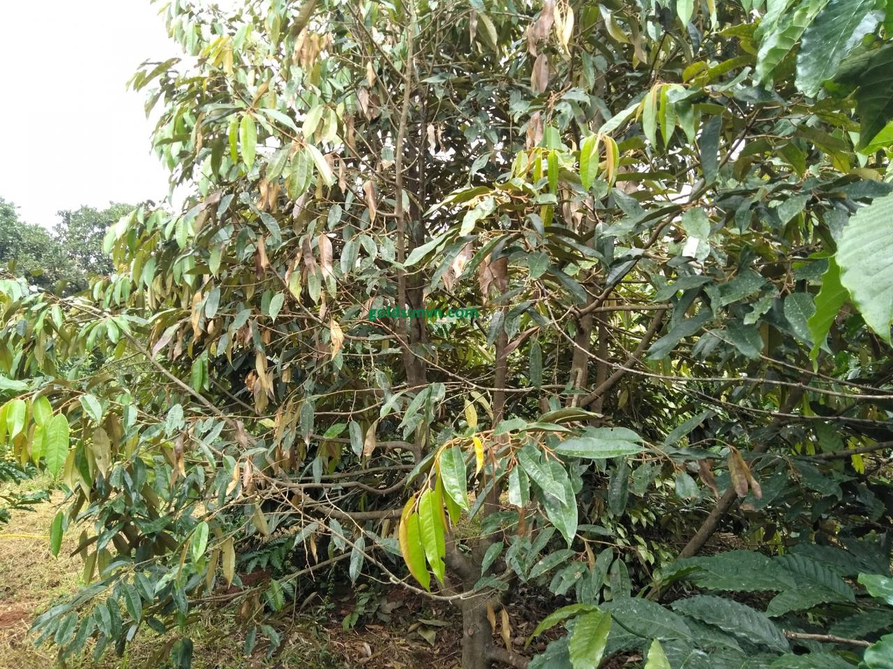 Bệnh cháy lá lá luộc nước sôi do nấm Rhizoctonia solani gây ra