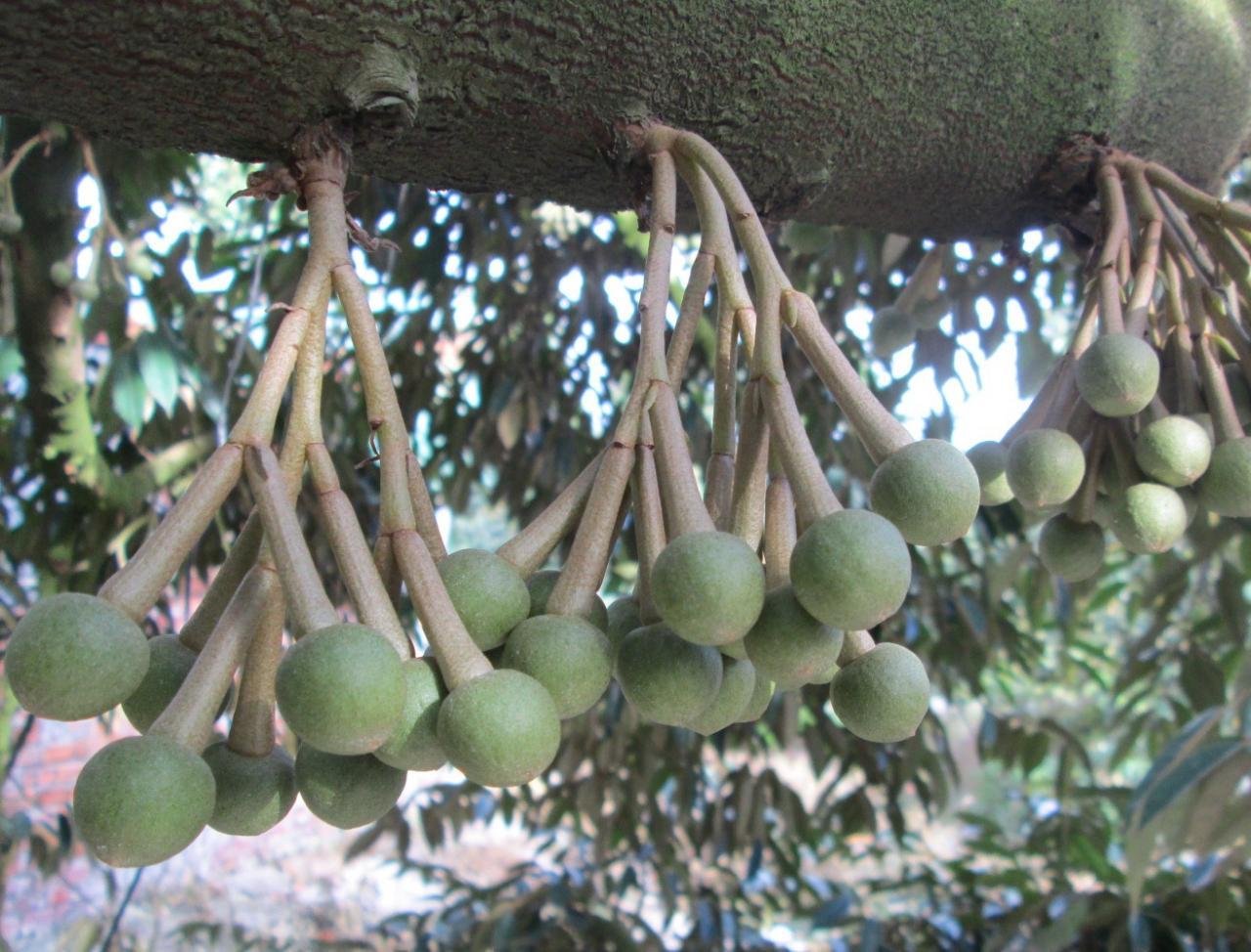 Bón phân tưới nước cho cây sầu riêng đang ra hoa