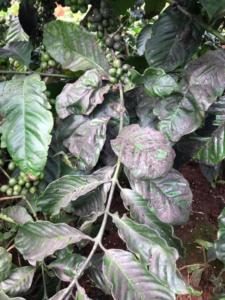 Phòng trừ sâu rầy rệp trên cây cafe