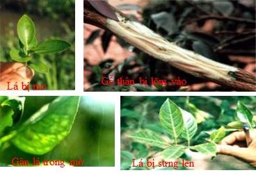 Quản lý bệnh bệnh Tristeza trên cây có múi