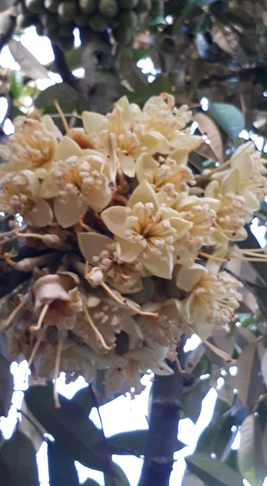 Làm bông sâu riêng dựa theo tiết đọt Lập Xuân